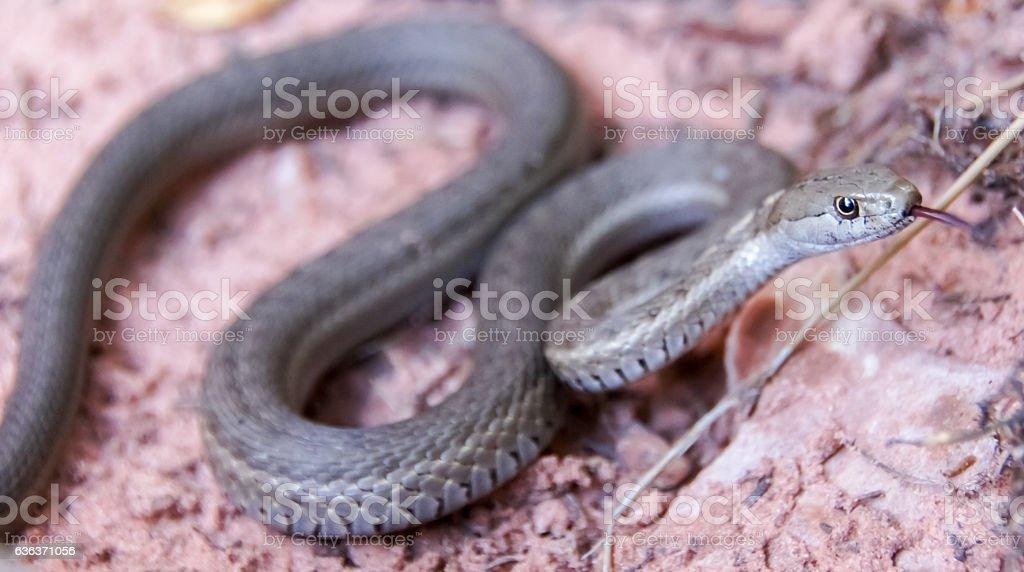 Western Terrestrial Garter Snake - Thamnophis elegans stock photo