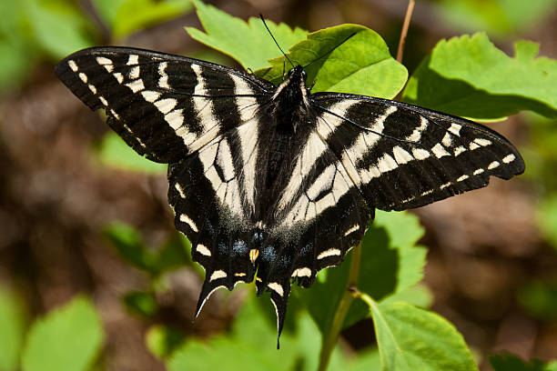 western tiger swallowtail butterfly - jeff goulden butterfly stock pictures, royalty-free photos & images