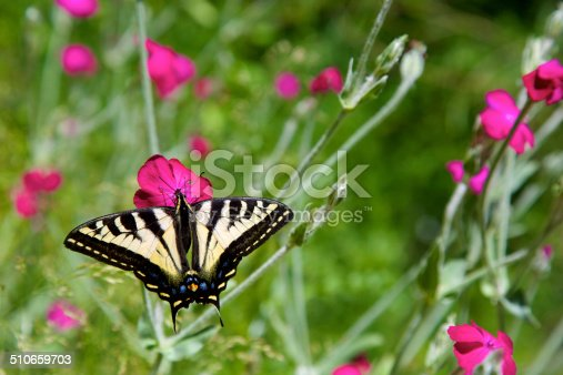 Western tiger Swallowtail butterfly and wildflowers