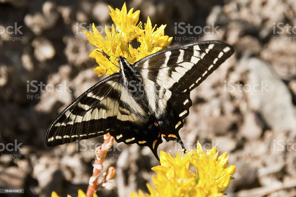 Tiger Swallowtail on a Yellow Flower stock photo