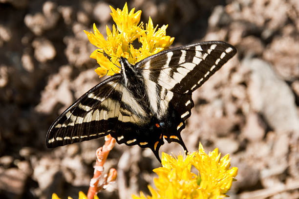 western tiger swallowtail on a yellow flower - jeff goulden butterfly stock pictures, royalty-free photos & images