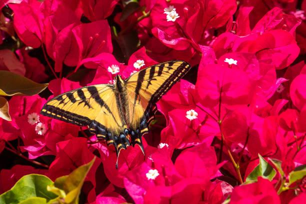 Western Tiger Swallowtail on Bougainvillea stock photo