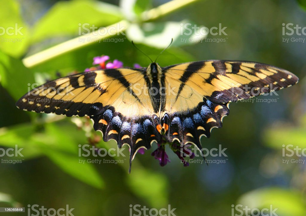 Western Tiger Swallowtail sitting on flower (close-up) royalty-free stock photo