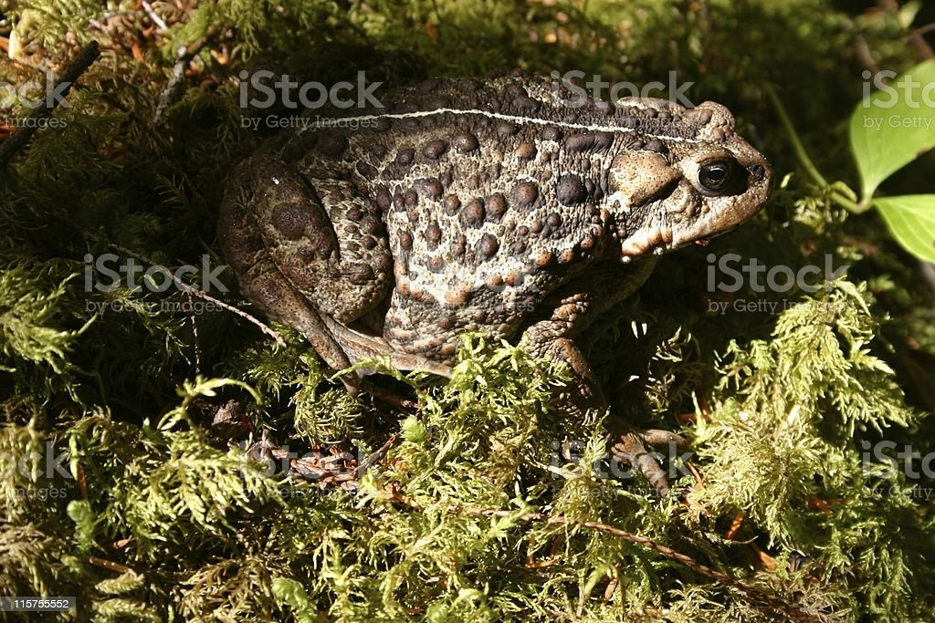 Western Toad (Bufo boreas) on a patch of forest moss. stock photo