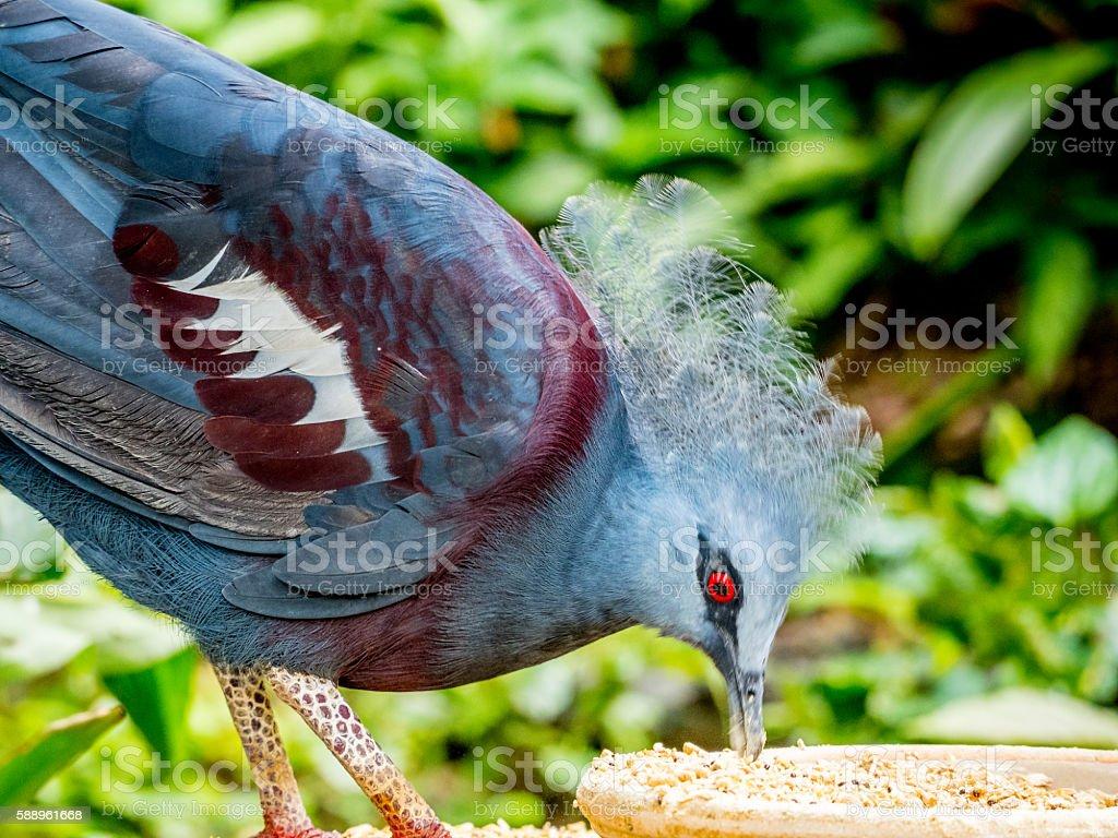 Western Victorian crowned-pigeon in Kuala Lumpur, stock photo