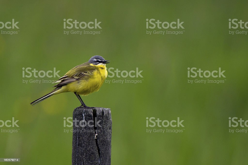 Western Yellow Wagtail (Motacilla flava) stock photo