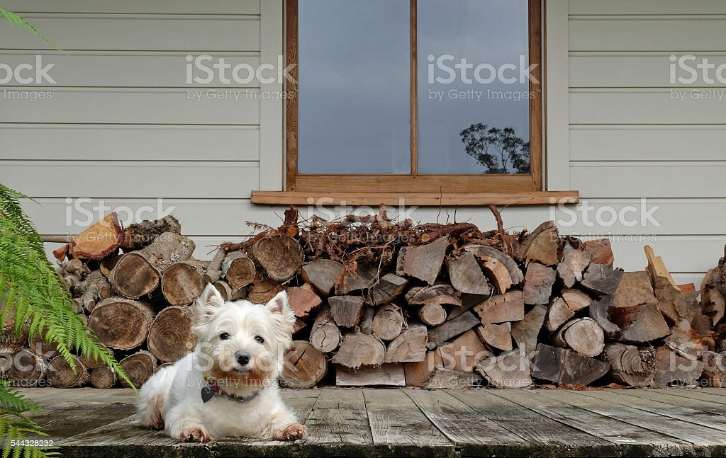 Westie dog by a woodpile stock photo