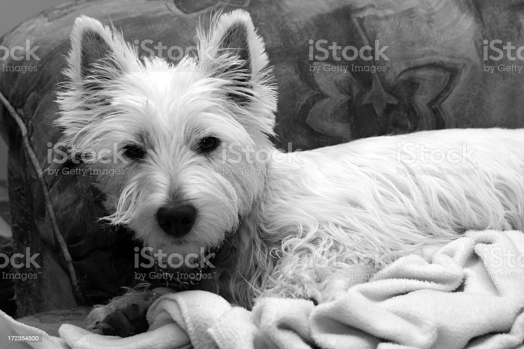 Westie Dog Laying Down on a Couch royalty-free stock photo