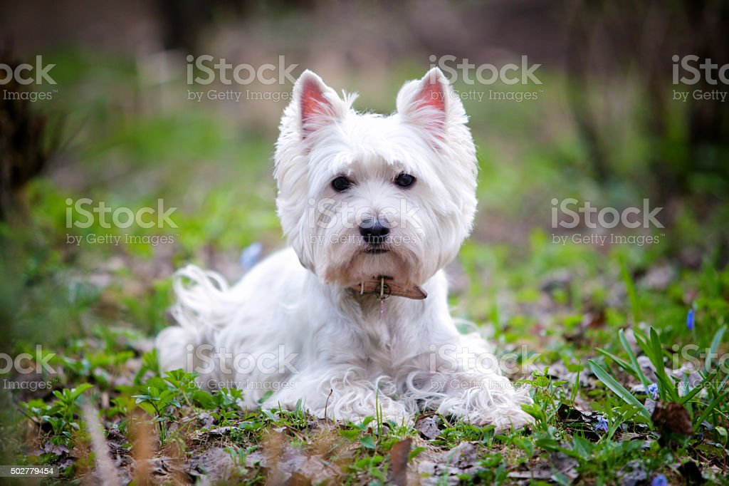 Westie stock photo
