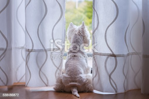 A westie looking through window