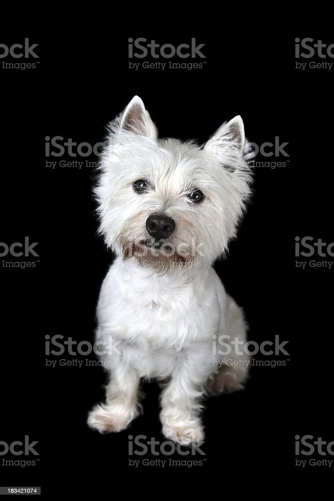 Westie Portrait stock photo