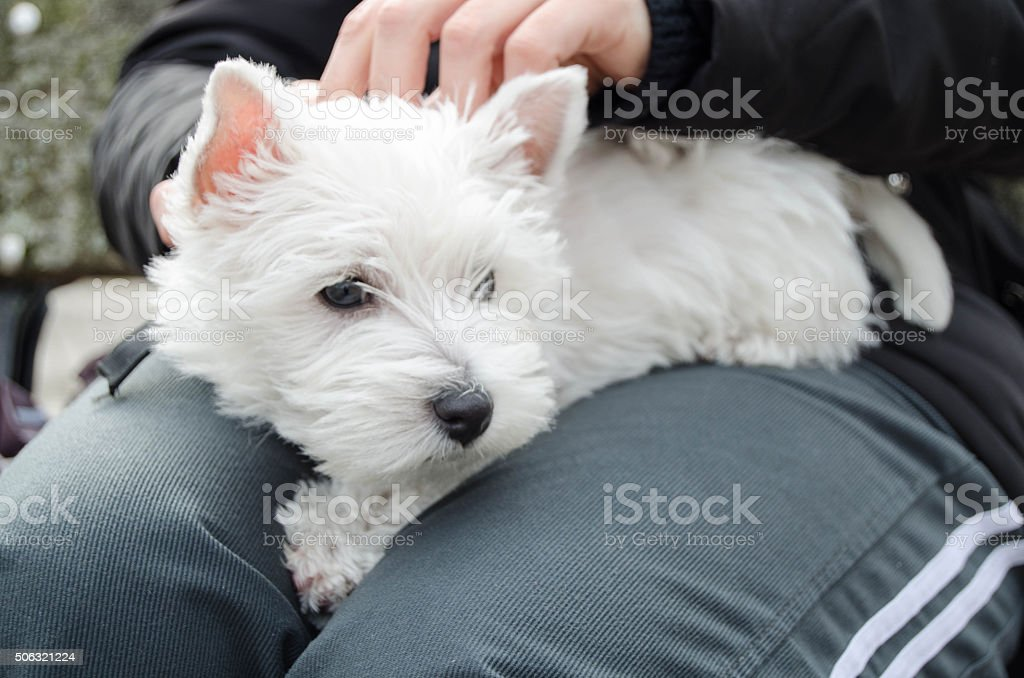 Westie Puppy Stock Photo Download Image Now Istock