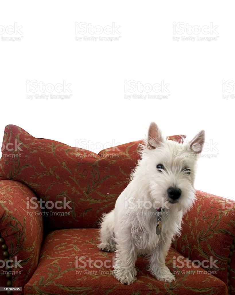 Westie Puppy royalty-free stock photo
