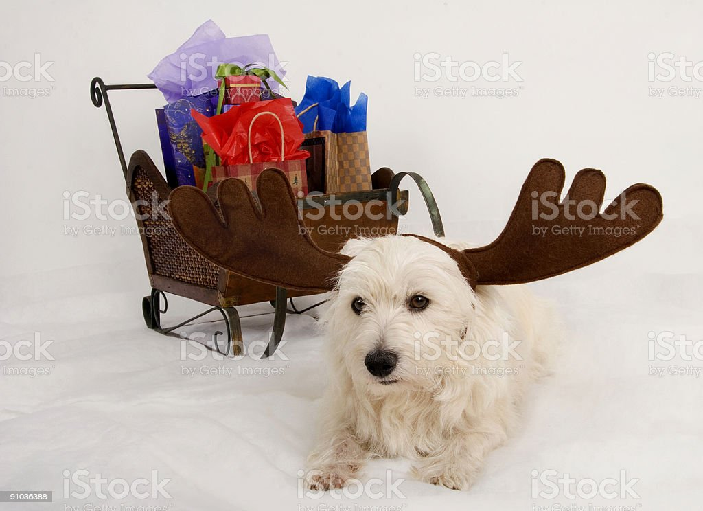 Westie Reindeer delivery royalty-free stock photo