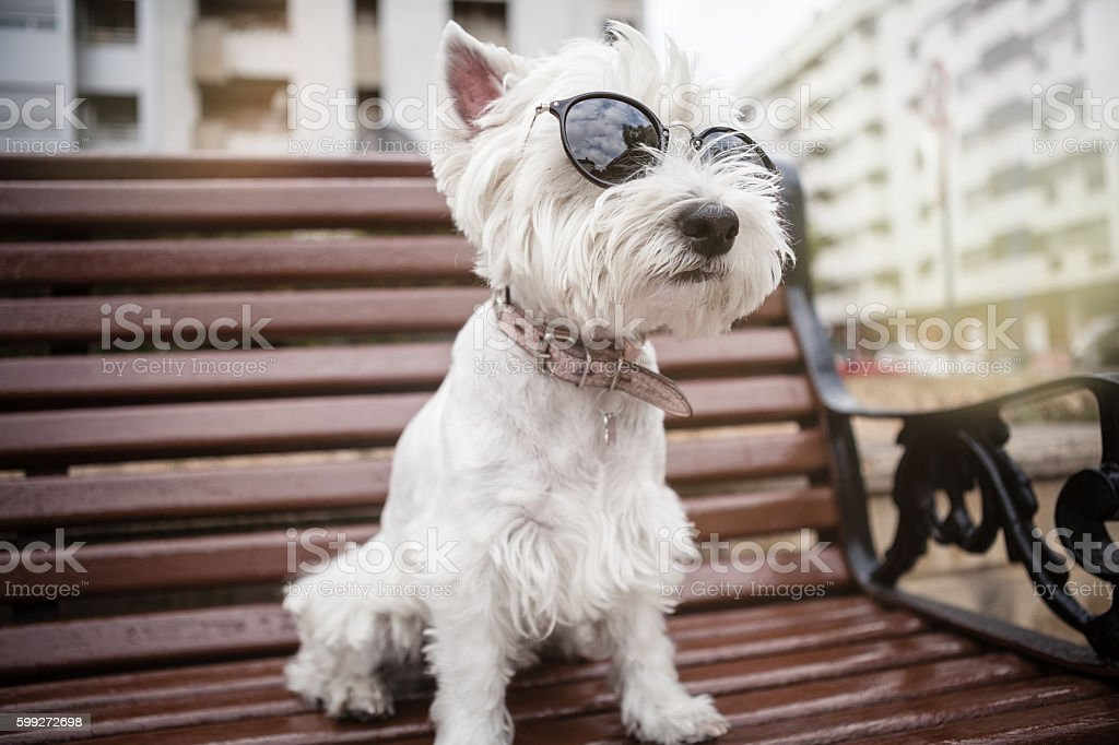 Westie with sunglasses on the bench stock photo