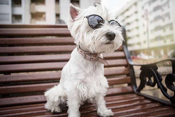 westie with sunglasses on the bench - city joke stock-fotos und bilder