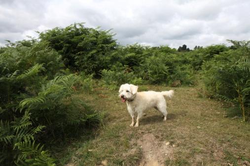 westiepoo standing new forest heathland