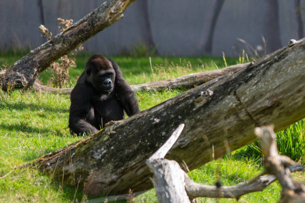 Westland Lowland Gorilla stock photo