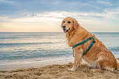 Wet adult golden retriever standing on the beach sand with the sea in the background at sunrise. The scene is situated at Smokinya beach (Black Sea) near Sozopol, Bulgaria (Eastern Europe) during summer sunrise or sunset. The picture is taken with Sony A7III camera.