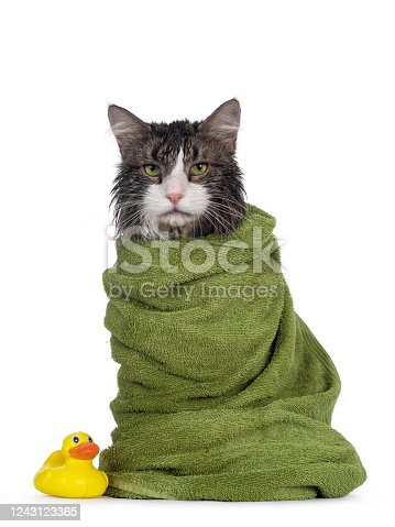 Wet freshly washed adult Norwegian Forestcat, sitting facing front wrapped up in green towel and beside a yellow plastic toy duck. Looking annoyed to camera. Isolated on white background.