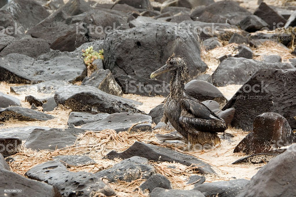 Wet albatros chick, Galapagos Islands, Ecuador stock photo