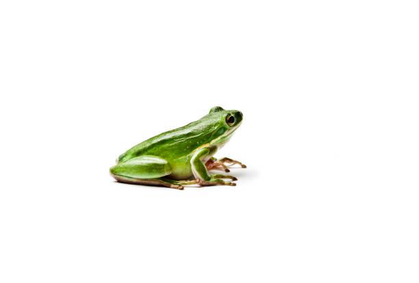 mouiller la rainette verte américaine isolé sur fond blanc. hyla cinerea. - verrue pied photos et images de collection