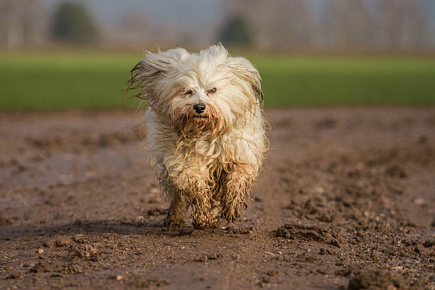 Wet and Dirty A Havanese runs quickly through the mud at the photographer. In the background a green grass and a few trees.