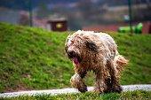 Wet, disheveled and muddy briard dog running on path.