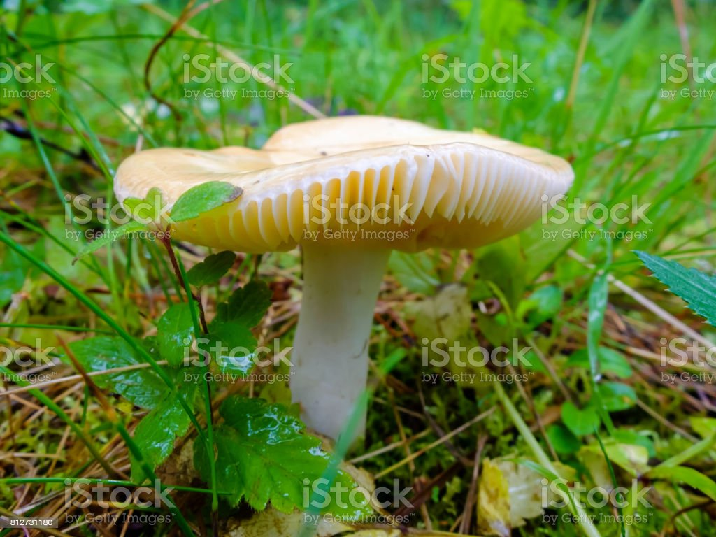Wet and slippery mushroom growing in the forest stock photo