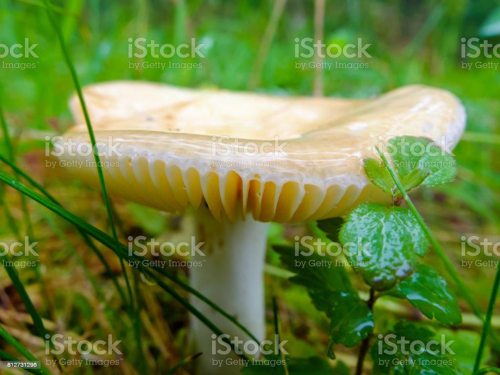 Wet and slippery mushroom stock photo
