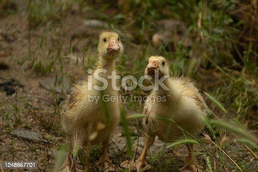 Goslings outside rainy day