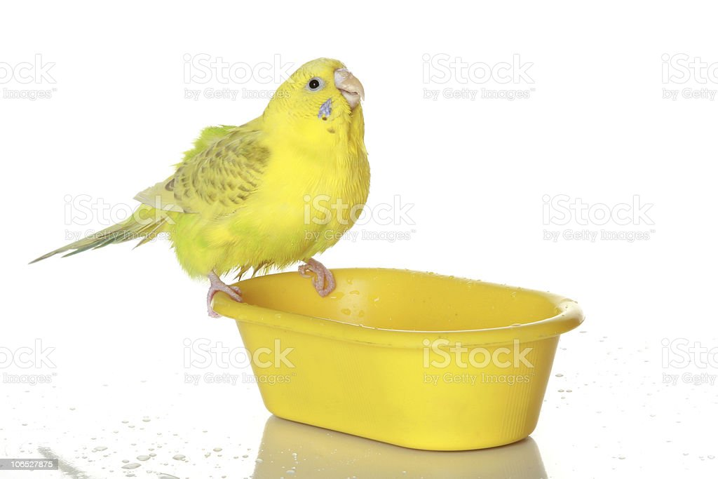 Wet, bathed parrot royalty-free stock photo