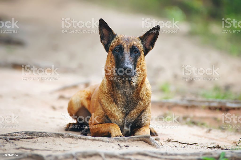 Wet Belgian Shepherd dog Malinois lying outdoors on the ground stock photo