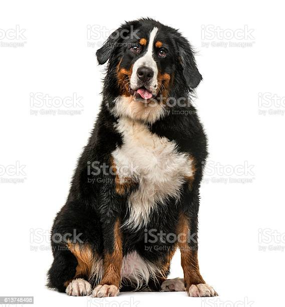Wet bernese mountain dog panting isolated on white picture id613748498?b=1&k=6&m=613748498&s=612x612&h=dz0kyepzs4zhkstfwd9ihow1xfu6mmntkbt2qons7ty=