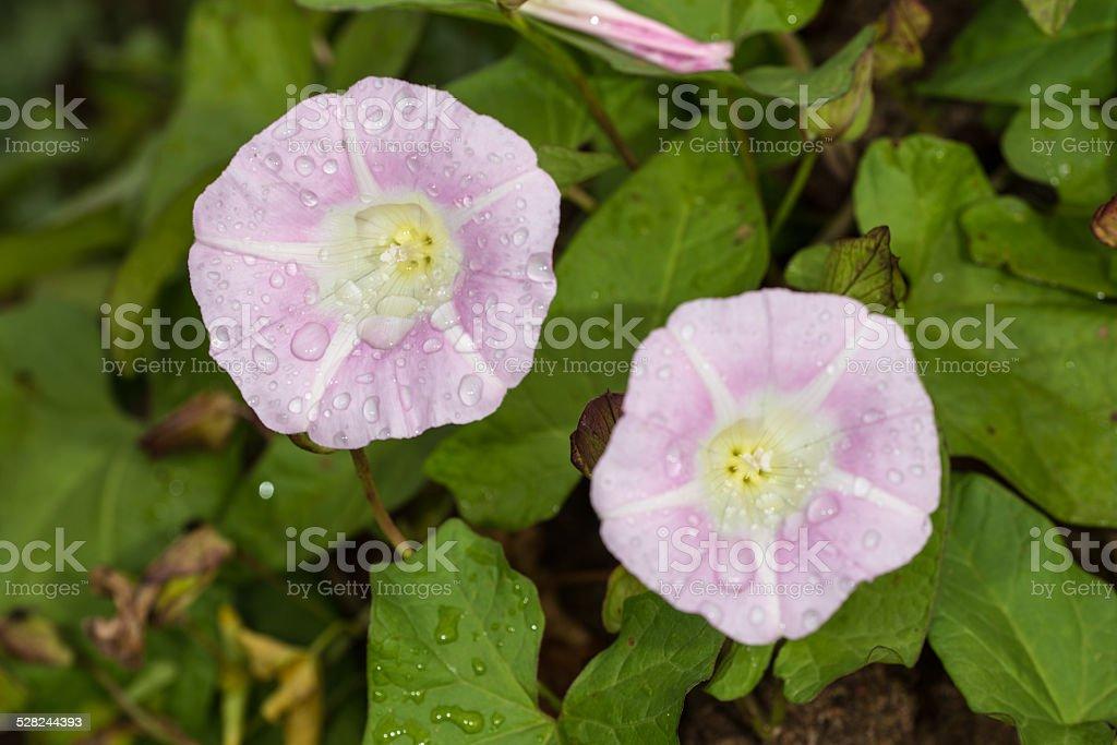 wet bindweed stock photo