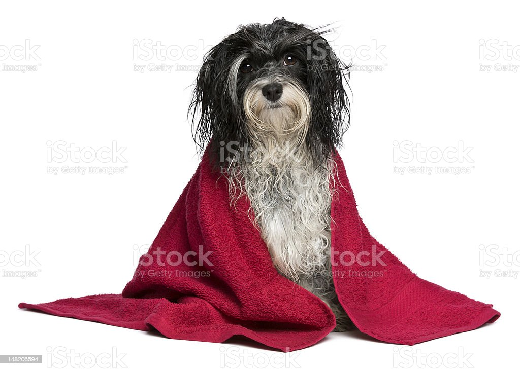 Wet black and white havanese dog after bath royalty-free stock photo