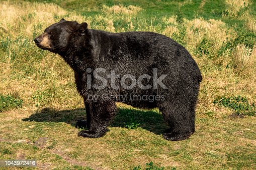 Wet black bear dries on the sun after swimming in the river