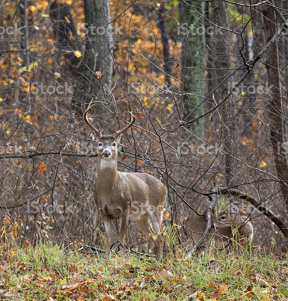 Wet buck royalty-free stock photo