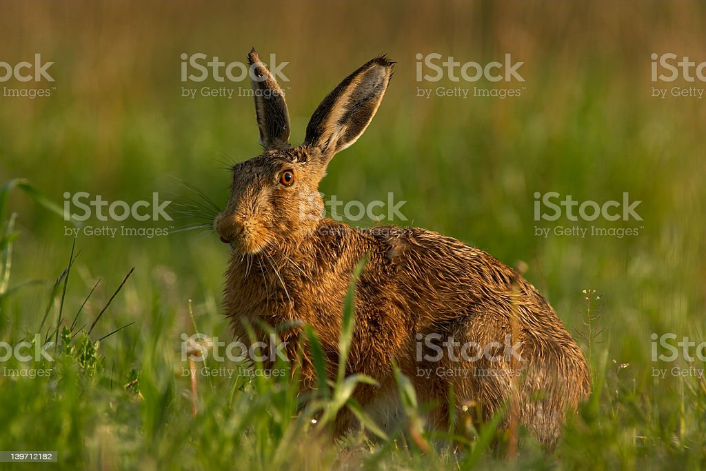 Wet Bunny stock photo