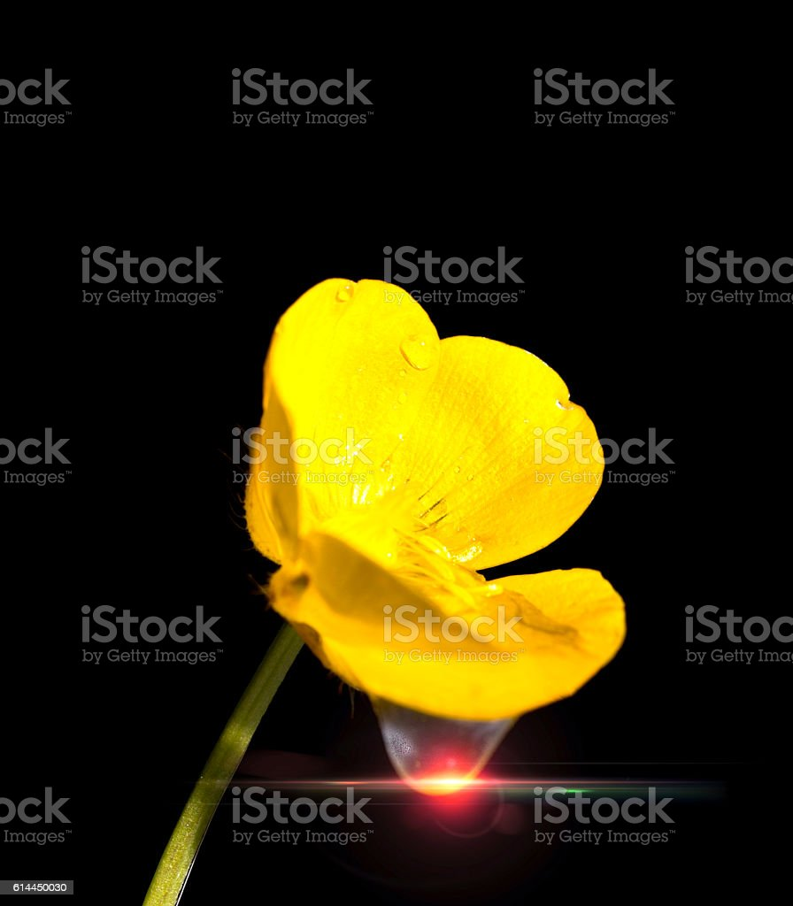 Wet Buttercup stock photo