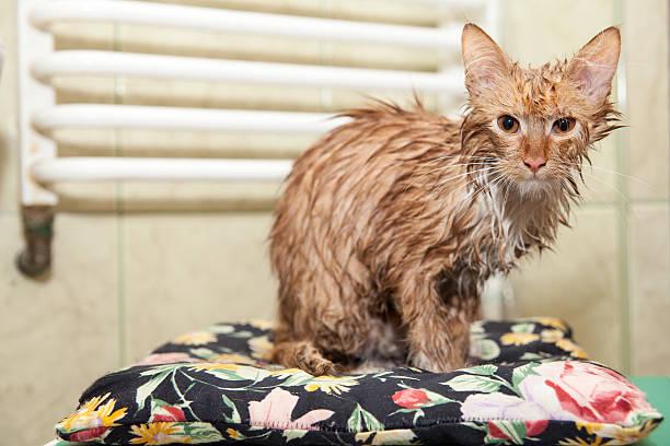Wet cat after a bath. Dissatisfied pet after a bath – zdjęcie