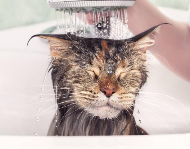 Wet cat in bath picture id916111836?b=1&k=6&m=916111836&s=612x612&w=0&h=lnw53urlltkupq02pcg8wra1na3odj33ippsrk1rjis=