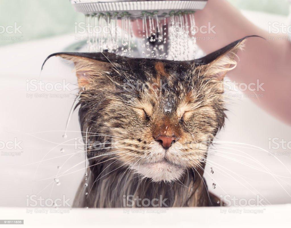Chat humide dans le bain - Photo