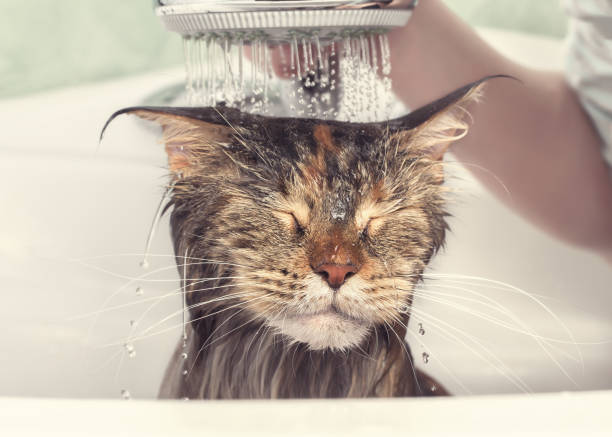 Wet cat in the bath Cat bath. Wet cat. Girl washes cat in the bath taking a bath stock pictures, royalty-free photos & images