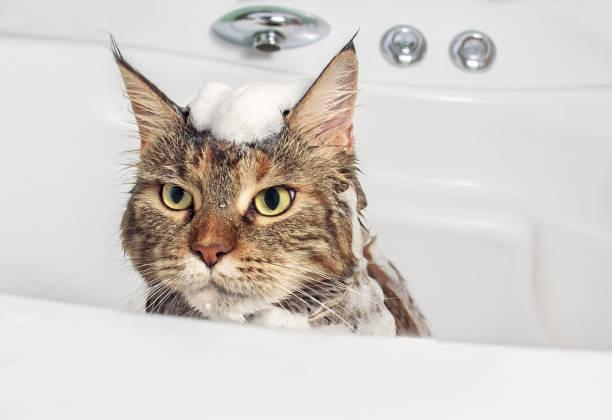 Wet cat in the bath picture id825900140?b=1&k=6&m=825900140&s=612x612&w=0&h=ospzrjidj7vqoti77ivhgrdghrxo2frayibjk3 jqiw=