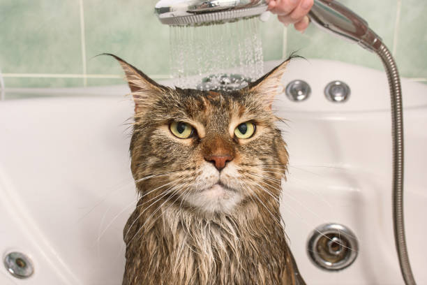 wet cat in the bath - drenched stock pictures, royalty-free photos & images