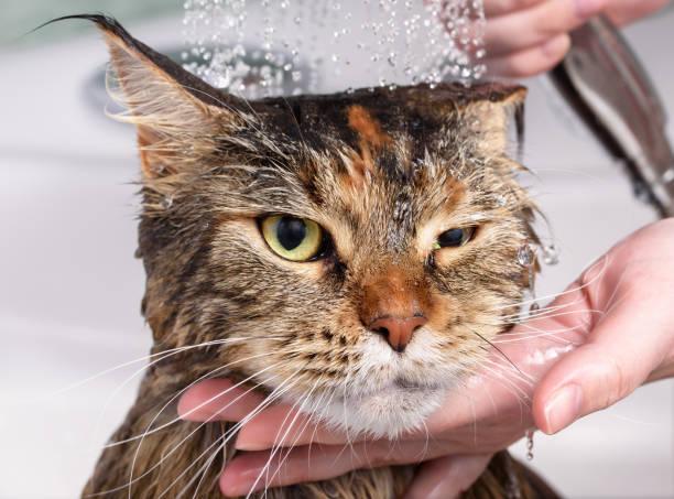 Wet cat in the bath picture id916111824?b=1&k=6&m=916111824&s=612x612&w=0&h=xxyyxjpyw772gvjhtsqoa8zjzvxsolklafxdb4oiww8=