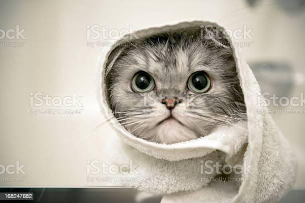 Wet cat picture id168247682?b=1&k=6&m=168247682&s=612x612&h=ji79orbcxd5hxxkzropqcez6n2xevnakimu3vrn58hw=