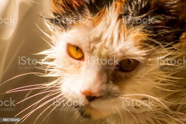 Wet cat picture id483745340?b=1&k=6&m=483745340&s=612x612&h=ufjtxqt8fvxojahkvkan3yyquh2kx5 onuojja9qsi4=