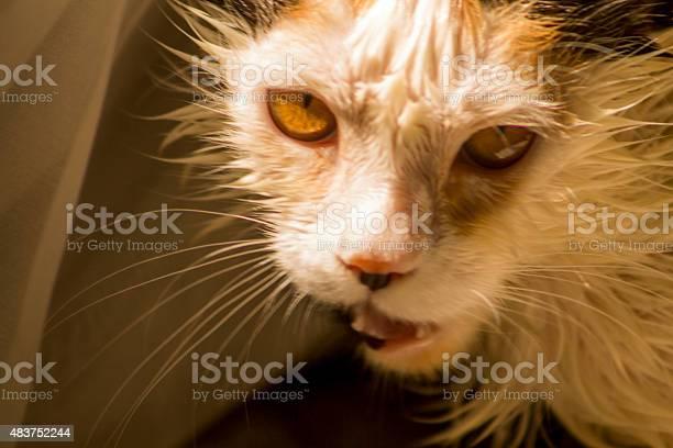Wet cat picture id483752244?b=1&k=6&m=483752244&s=612x612&h=owxxik11sx3g rdtdlabebttas4a9bxbs h1lxwsbxw=
